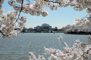 Photo courtesy of the National Park Service photo gallery – The cherry blossoms in full bloom
